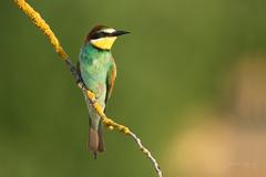 Včelárik zlatý. -Merops apiaster