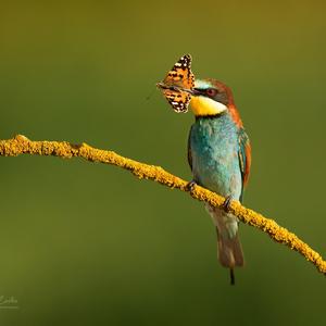 Včelárik zlatý ( Merops apiaster