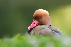 Hrdzavka  potapava - samec