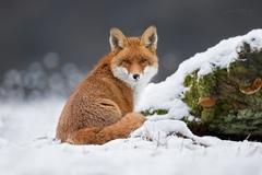 Líška obyčajná - Vulpes vulpes