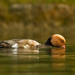 hrdzavka potapava - samicka