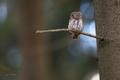 Kuvičok vrabčí - Glaucidium pass