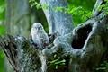 sova obyčajná - Strix aluco