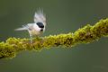 Sýkora hôrna/Parus palustris