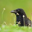 vrana zapadoeuropska :D