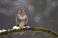 Myšiak lesný - Buteo buteo