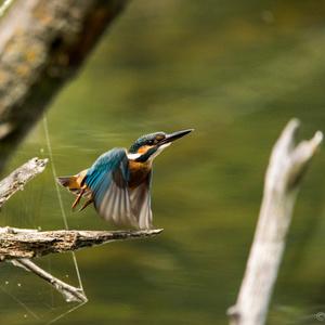 Na štarte - Rybárik riečny
