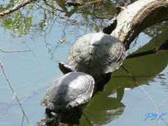Korytnačky na jazere