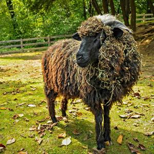 Senná ovečka