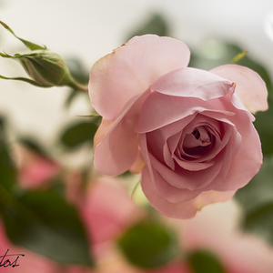 rúženkin kvet