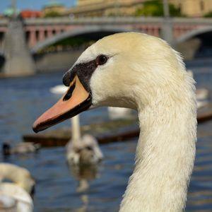 Labutí pohľad