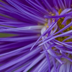 purple_mini