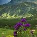 tatranská flóra