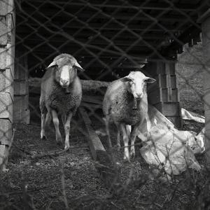 depresívne ovce