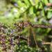 Sidlo velke (Aeshna grandis)