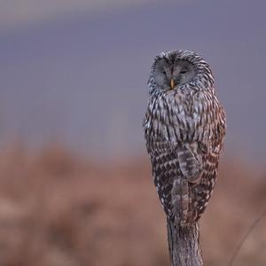 Sova dlhochvostá (wild)