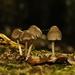 Lesný trpaslíci