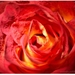 V labyrinte ruže