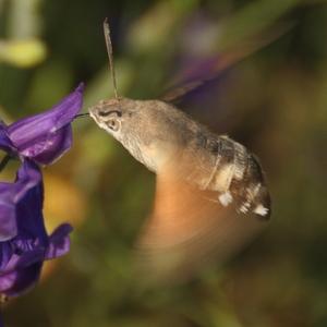Slovenský kolibrík