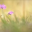 ... Primula farinosa ...