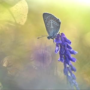 Aricia eumedon