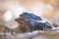 ... Blue Frog ...