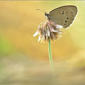 Aphantopus hyperanthus