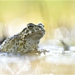 *** Green Toad ***