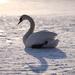 osamelá labuť