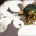 Edelkrabbelkäfer