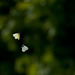 Motýlí tanec