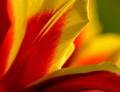 kúsok tulipánu