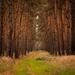 V borovicovom lese