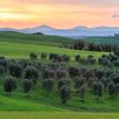 V olivovom hájiku