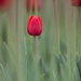 Tulipánovka