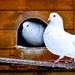 Ako dve holubičky