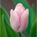 Tulipan I