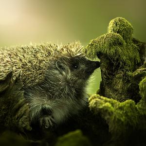 Hedgehog  (Jezko) 1