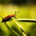 Plocháč červený (Cucujus cinnabe