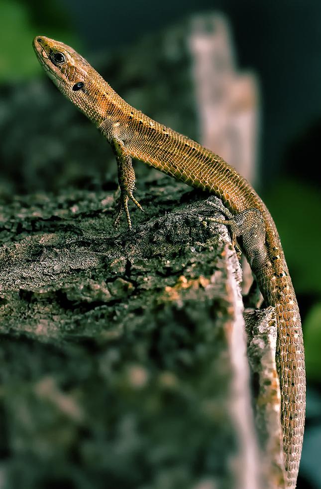 Jasterica murova ( Podarcis mura
