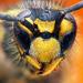 Osa obycajna (Vespula vulgaris)