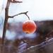 Jablko pod snehom