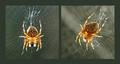 Zo života balkónového pavúka