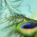 Hra na zlaté pávie struny