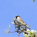 Vrabček na hruške