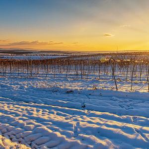 Zimná vinica