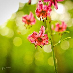 orchidea ?