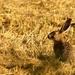Smelý zajko na Slovensku