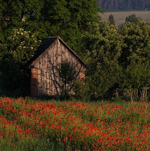 Cottage in the poppy field