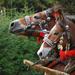 Furmanské kone